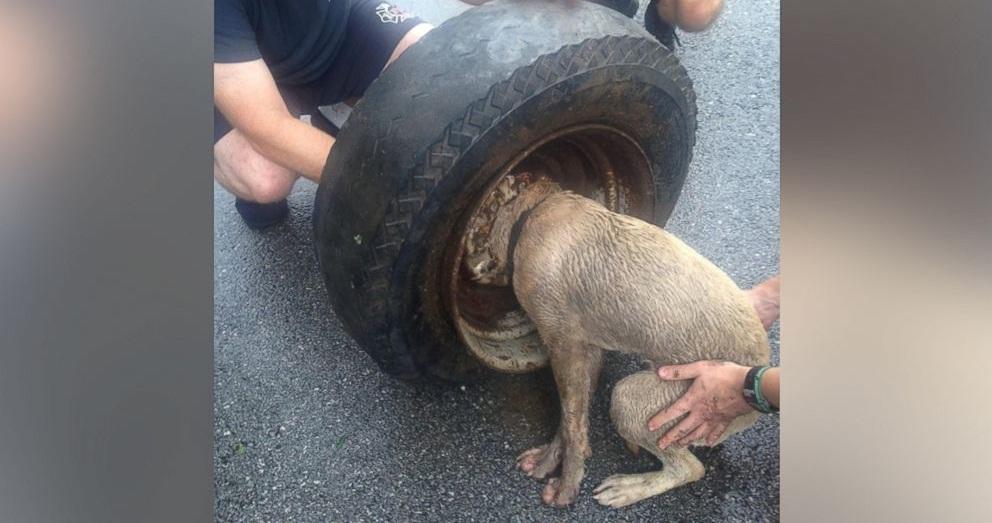 dog head stuck in rim