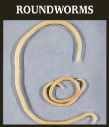 Roundworms in Pets