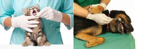 Anesthesia Free Pet Dental Treatment