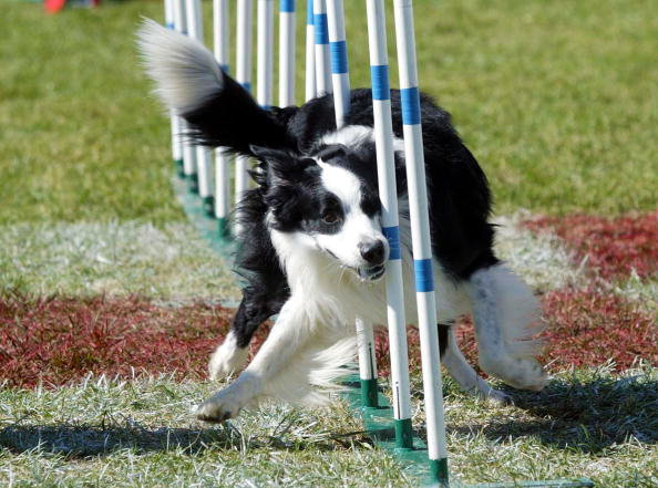 Agility Training of Dog - Pet Care Supplies Blog